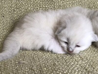Ragdoll kittens for sale in Dallas Metroplex area | Texas