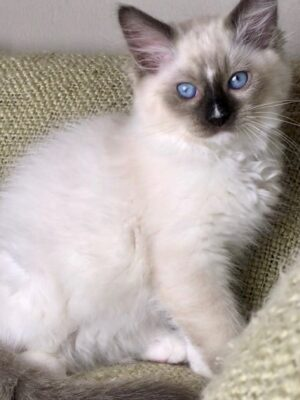 Ragdoll kittens for sale in Dallas Metroplex area | Texas
