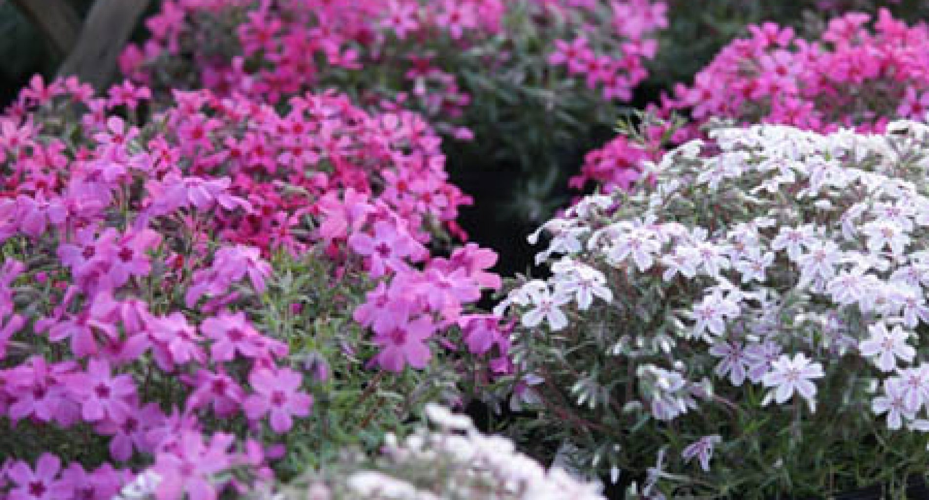 Phlox at Homestead Garden Center, WIilliamsburg