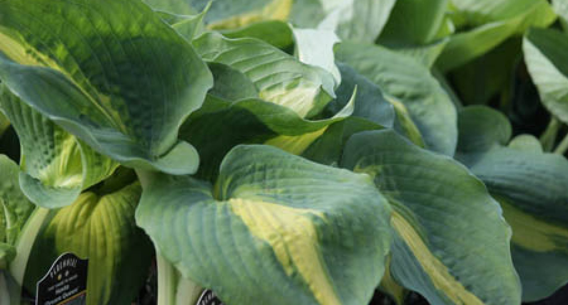 Hostas at Homestead Garden Center, WIilliamsburg