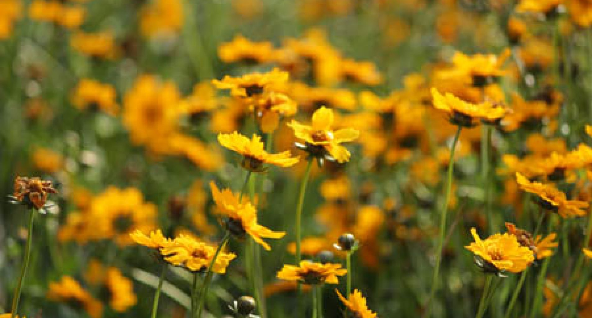 Coreopsis at Homestead Garden Center, WIilliamsburg