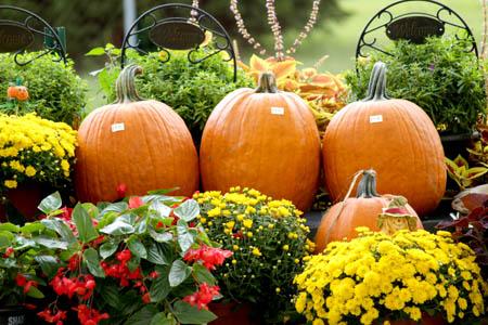 Pumpkins and mums for sale Homestead Garden Center Williamsburg