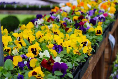 Violas Pumpkins and mums for sale Homestead Garden Center Williamsburg