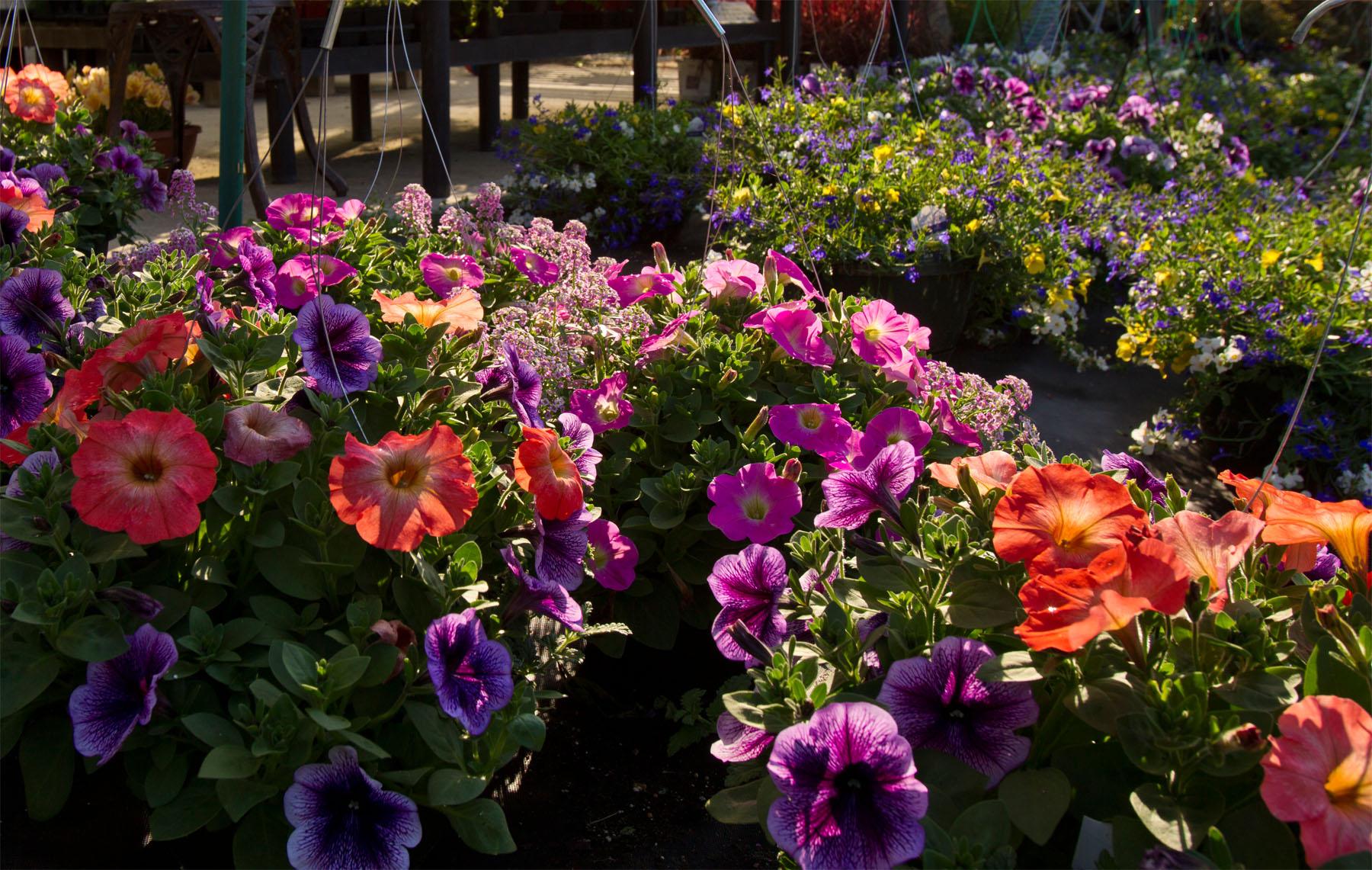 Petunias at Homestead Garden Center - Terri Aigner photo
