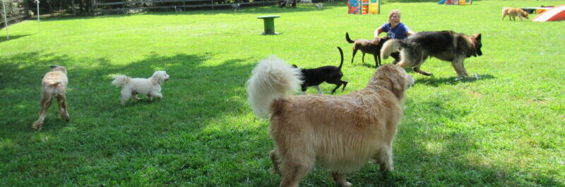 Dogs and Counselors Avoiding Doggie Back to School Blues in the field at Janry Pet Resort