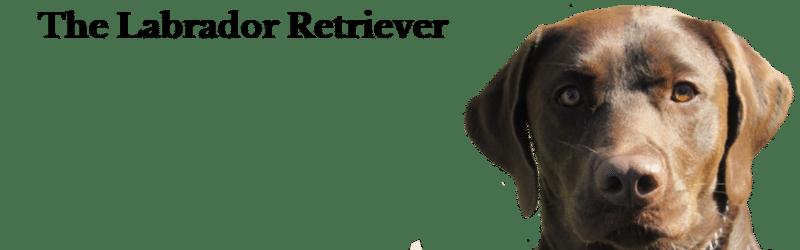 Beautiful Labrador Retriever at Janry Pet Resort