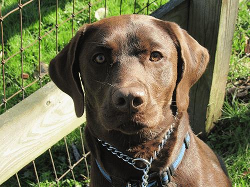Chocolate Lab Pup