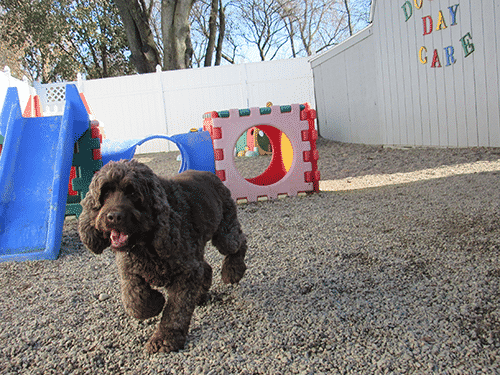 Cocker Spaniel in Daycare