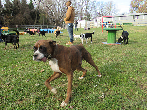 Dogs playing in the field with counselors supervising during the fall season at Janry Pet Resort