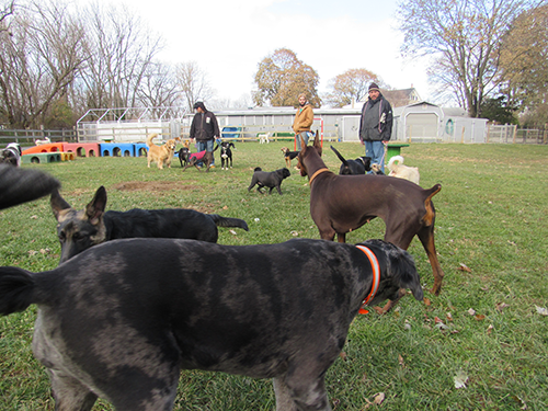 Janry Pet Resort Staff supervising daycare dogs at play in the field at Janry Pet Resort