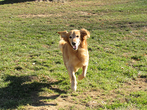 Golden running through the field in the fall sunshine at Janry Pet Resort