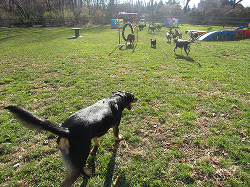 The sun shining on the field full of dogs playing and having fun at Janry Pet Resort