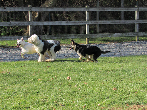Three pups running in the sun shine and playing tag in the field at Janry Pet Resort