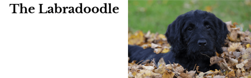 The Labradoodle