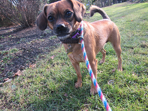 Puggle Pup posing for a closeup pic on the Nature Trail at Janry Pet Resort