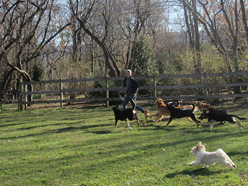 Counselor running in the field with a group of happy dogs at Janry Pet Resort