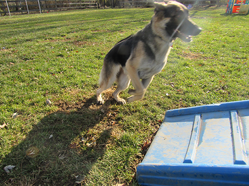 German Shepherd running in the field with the sun shining on a beautiful fall day at Janry Pet Resort
