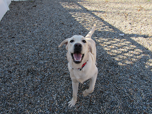 Smiling and happy lab in the Daycare play area at Janry Pet Resort.