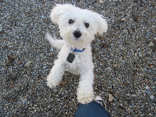Maltese puppy on stones asking for attention from a counselor with a cute facial expression of love at Janry Pet Resort