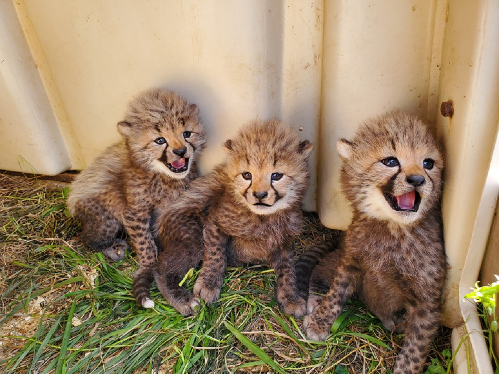 The Smithsonian's National Zoo and Conservation Biology Institute is asking the public to help name the litter of four cheetah cubs born April 8. Details...