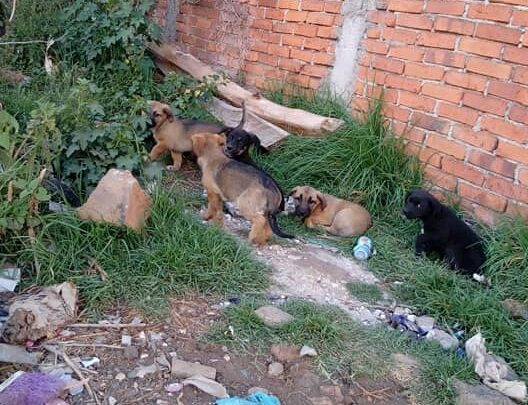 Piden ayuda para adoptar a 5 perritos abandonados en Pátzcuaro