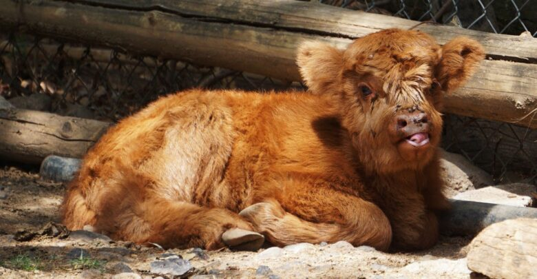Nace búfalo en el Zoológico de Morelia