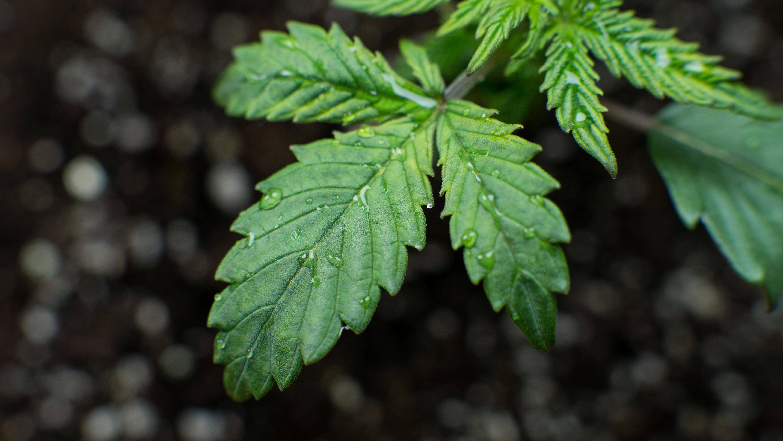Marijuana Marketing Strategies