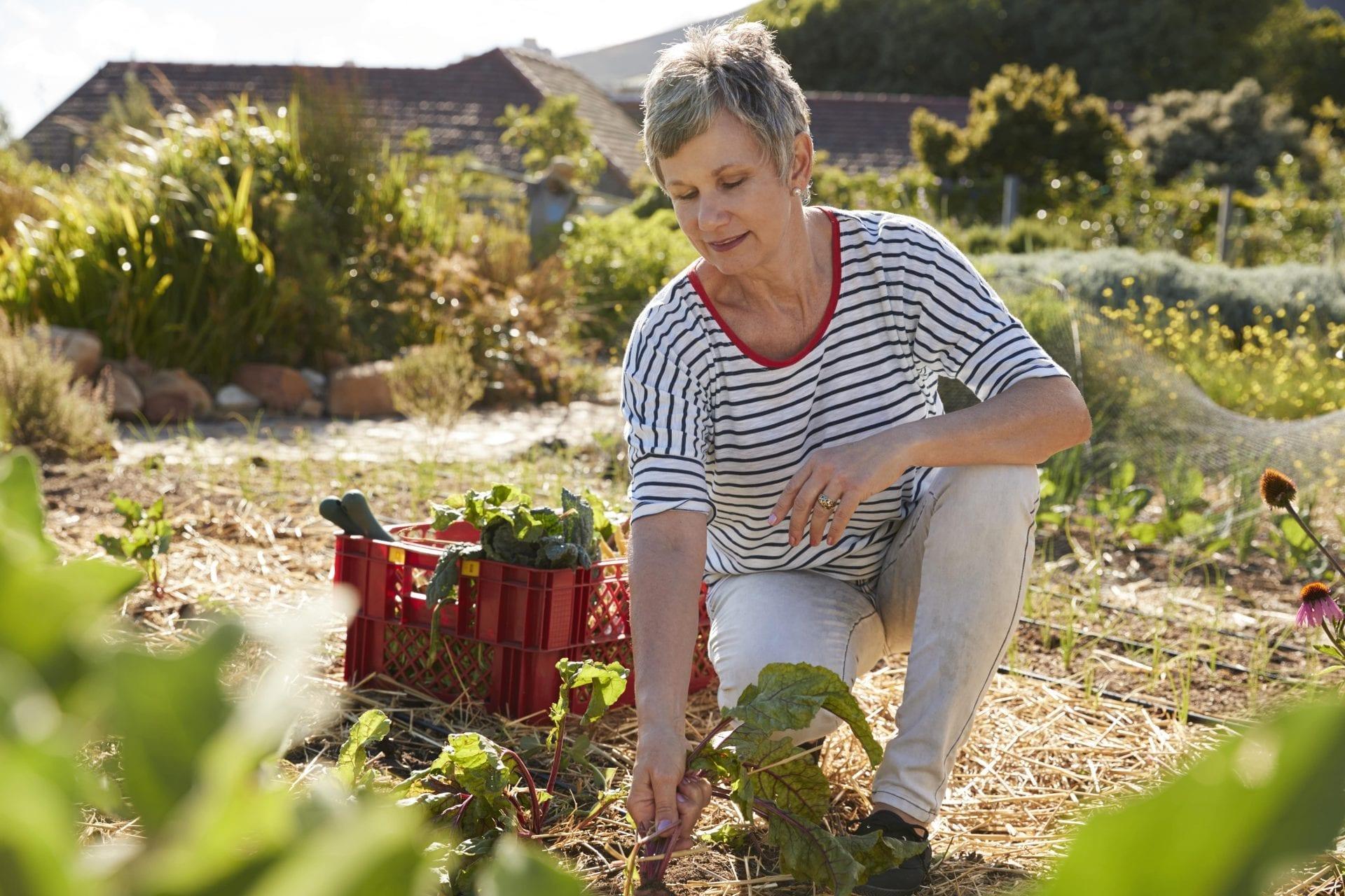 mature-woman-harvesting-beetroot-on-community-PWLYNTZ-min