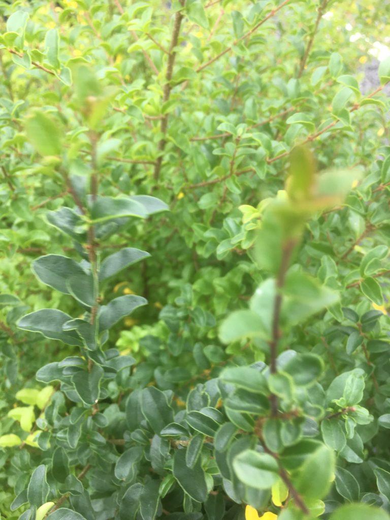 Ligustrum undulatum-box leaf privet