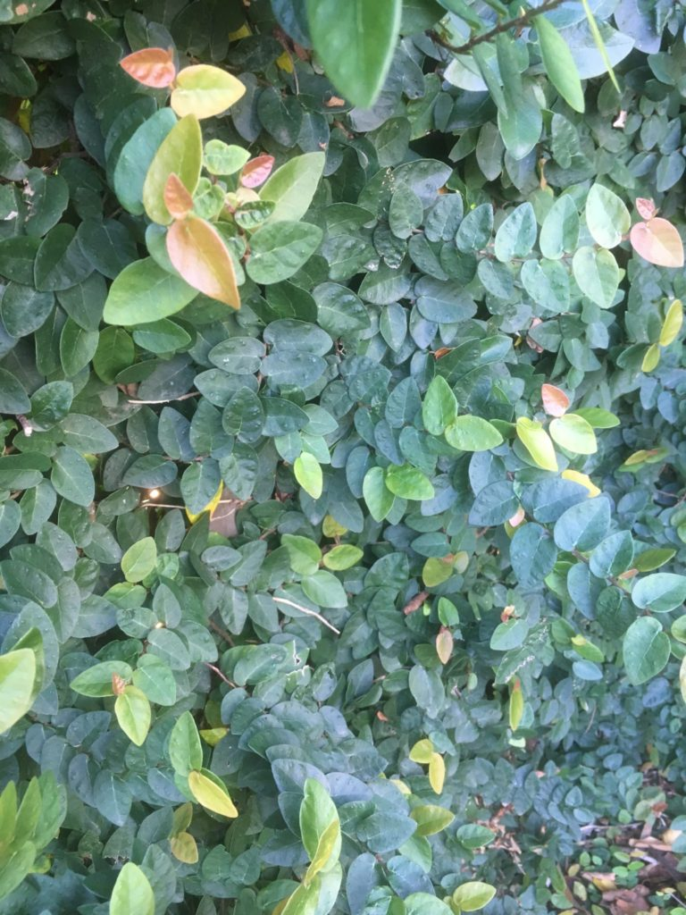 Ficus pumila- Climbing fig