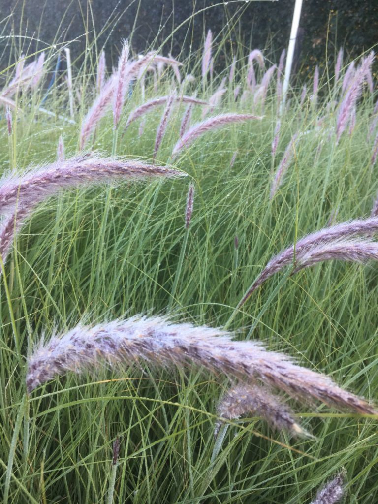 Pennisetum alopecuroides- swamp foxtail grass