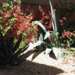 Agave and Firecracker Penstemon | 2010 Xeriscape Award