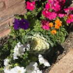 Kale and petunias bring softness to a meandering walkway planter bed.