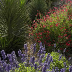 Mixed planting of Yucca and Salvias | 2007 APLD Gold Award