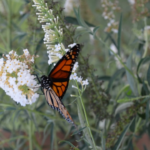 Monarch butterfly, resplendent in orange and black alighting on a butterfly bush.