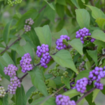 Beauty Berry if full bright purple berry stage