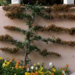 Eonomous espallier in Sunken Garden with spring flowers in foreground