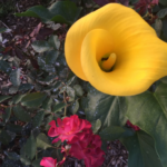 Yellow calla lily in full bloom with red shrub rose in background.