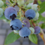 Some of Annville Inn's Blueberries, which we raise to include in breakfast dishes.