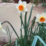White and orange daffodils in full bloom