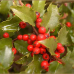 Bright red holly berries clustered along green holly leaves