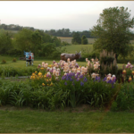 """Ashie's Garden"" filled with iris in full bloom. In the background, lawn and our two life-size bull sculptures."