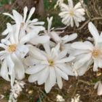 Star Magnolia in full bloom