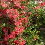 orange blooming shrub in full bloom