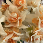 White and apricot colored ruffled daffodils in full bloom