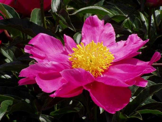Beautiful dark pink flower bloom with yellow center and dark green foliage.