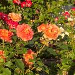 bright orange roses in garden