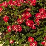 red shrub rose