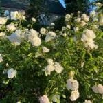 """white """"Iceberg"""" roses"""