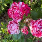 cluster of roses in rose garden
